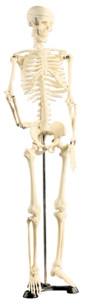 Squelette articulé 85 CM